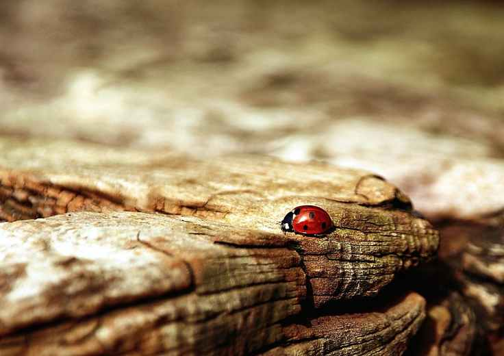 ladybug-brown-nature-beetle-55803.jpeg